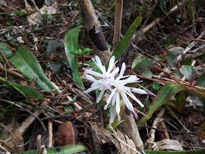 ショウジョウバカマの白花