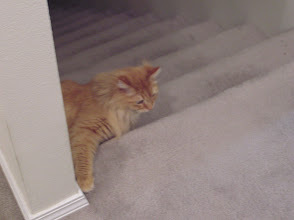 Photo: Miki's other kitty, Toulouse. Very fuzzy and shy.