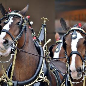 by Tammy Little Elam - Animals Horses (  )