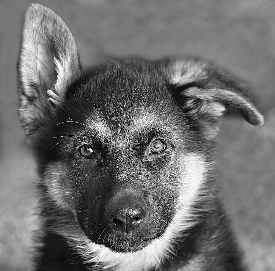 Little Storm by Chrissie Barrow - Black & White Animals ( monochrome, black and white, pet, pup, fur, ears, grey, german shepherd, dog, mono, nose, portrait, eyes, animal,  )