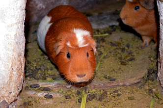 Photo: awwww poor unsuspecting guinea pigs