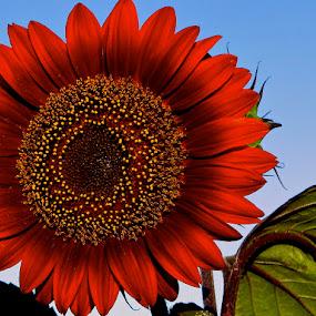 Red heat by Jadranka Bužimkić - Artistic Objects Other Objects ( sun flower red plant )