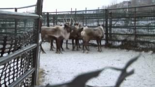 Reindeer Farmer