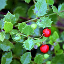 Quailberry
