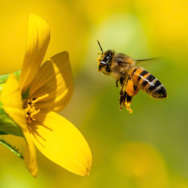Getting My Nectar by MARTIN JACOBVITZ - Animals Insects & Spiders ( bumble bee, bumblebee )