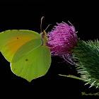 Cleopatra butterfly