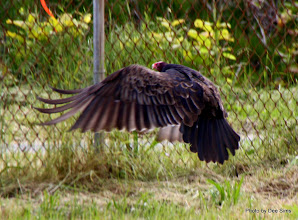 Photo: (Year 2) Day 356 - Another Turkey Vulture at Our Campsite This Evening