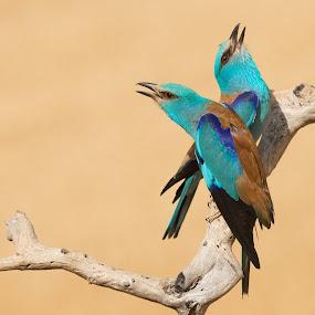 Rollers by Howard Kearley - Animals Birds ( blue, birds )