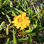 Bay Biscayne creeping - oxeye