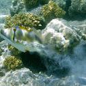 Assasi (Egyptian Picasso) Triggerfish