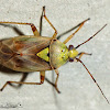 Western Tarnished Plant Bug