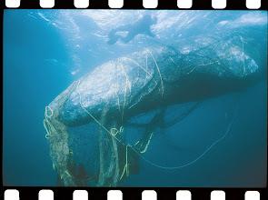 Photo: Credit: Marine Photobank from 1986 Bob Talbot.The LegaSea Project