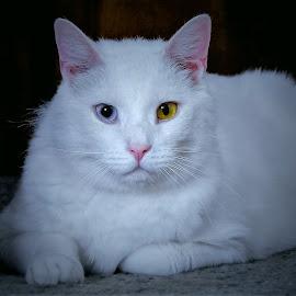 Sammy by Sue Delia - Animals - Cats Portraits ( white, cat, eyes, colors, pet, rescue )