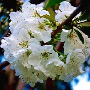 cherry_tree (1).jpg
