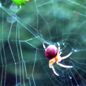 Lattice Orbweaver