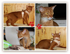 Photo: Шлейки для кошек  Сегодня нам пришла посылка из Японии, от заводчика нашей кошки Дидди - Masayo Nakamura. Увидев на фотографиях в Facebook, что я часто использую на прогулках с кошками подаренную ею шлейку, но одеваю ее только на котят-подростков, она решила сделать приятный сюрприз - выслала шлейки большего размера.  У нас тоже продаются шлейки, но не такие. Эта особенная. У нее сзади есть прищепка - ходунок, регулирует натяжение. За ним колечко, ну и сам поводок цепляется. Причем, я такие искала у нас и в Москве - не нашла. Если еще пошить саму шлейку можно, то вот эту чудо-прищепку найти - нет. Проверенная шлейка и на природе, и в поездах. Четко держит. Как раз на большого телом, но юного душой Эльдарчика, и на кошек, а также Ваську, который, по сравнению с Эльдаром, выглядит младшим братом, хотя старше его на пять дней.  Кошка - рыжулька Дидди пришла проверить, что же там прислали. Странно, но у меня сложилось ощущение, что она уловила запах своей родины - Японии. Из кошек только она упорно вынюхивала подарки.  Масайо, еще раз большое спасибо!  Заинтересовавшимся шлейкой - сайт продавца в Японии. http://www.pompreece.jp/page/48