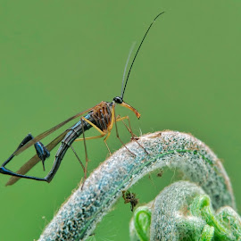 Scorpion fly by Okqy Setiawan - Instagram & Mobile Android ( macro, bugs, close up, nature, insects,  )