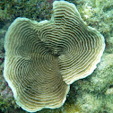 Elephant Skin Coral