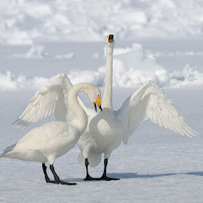 Welcome Home Dear!!..... Thank You Sweetheart!! by Harry Eggens - Animals Birds ( vertical, proframe, bill, south-east, nikkor, wildlife, yellow, volcanic, kussharo, birds, feather, swimming, cygnus cygnus, photography, japan, nature, cold, gather, ice, swim, snow, gathering, harry eggens, nikon, black, feisol, wild, swans, wing, camera, hokkaido, white, plumage, snowy, image, lake, feathers, photo, lens, picture, crater, bird, winter, craters, whooper swan, horizontal, beak, tripod )