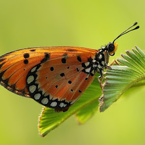 alone in the morning by Angga Putra - Animals Insects & Spiders ( butterfly )