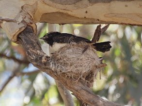 Photo: Willie Wagtail Chick on nest - Yerrabi Pond