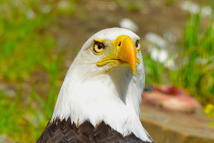 Close Up by  J B  - Animals Birds ( eagle, bald eagle, portrait, american bald eagle,  )