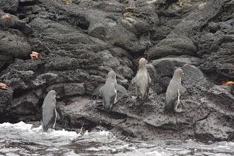 Photo: Galapagos Penguins