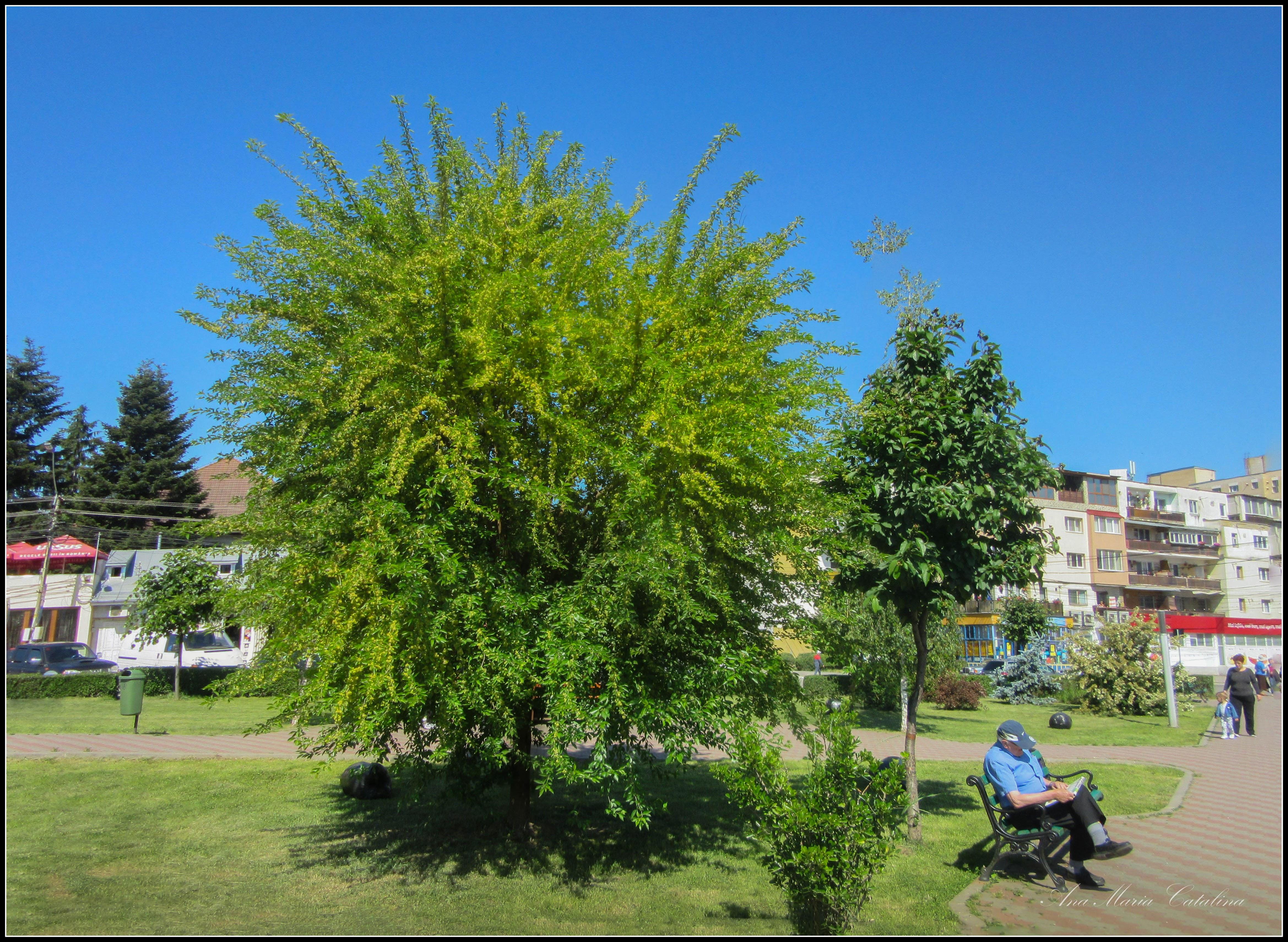 Photo: Roșcovul (Ceratonia siliqua) - din Parcul teilor - 2017.05.29 Album http://ana-maria-catalina.blogspot.ro/2017/06/roscovul-album-pe-google13ceratonia.html