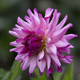 Another One With Morning Dew by Janet Marsh - Flowers Single Flower ( dahlia, purple )