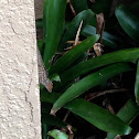 Red-Headed Brown Anole