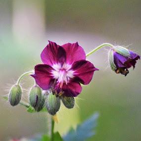 Cvijetak by Slaven Bandur - Flowers Flowers in the Wild ( spring, wildflower, color, daylight, woods, flower )