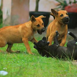 Let's Play by Yohanes Arief Dewanto - Animals - Dogs Playing ( dogs playing, dogs, playing, animals, dog,  )