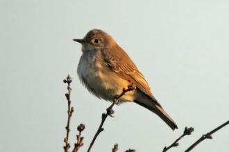 Photo: Spotted Flycatcher