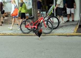 Photo: Seems the same cock followed us all around Key West.