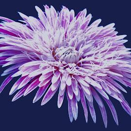 purple by SANGEETA MENA  - Flowers Single Flower