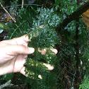 Vandenboschia