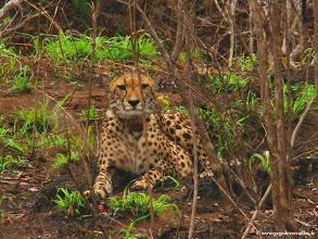 Photo: AFRIQUE DU SUD-Guépard ou Cheetah dans la réserve privée de Makalali près du Parc Kruger.