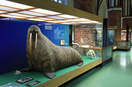 Walrus exhibit, created by famous taxidermist Hermann H. ter Meer