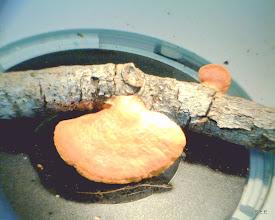 Photo: Pycnoporus cinnabarinus