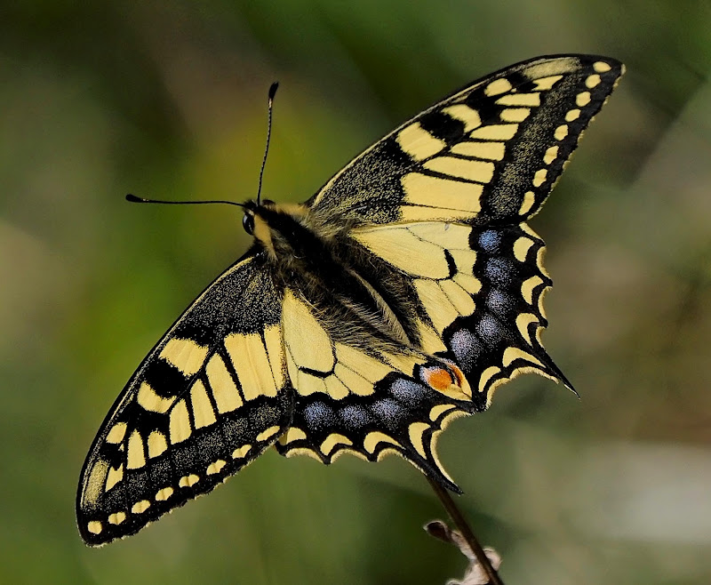 Yellow butterfly di Ennebi