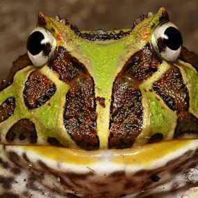 pacman by Scott Thompson - Animals Amphibians ( frog )