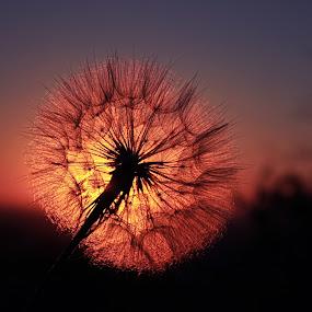 sun flower by Naiden Bochev - Nature Up Close Flowers - 2011-2013 ( nature, sunset, beauty, landscape, flower, sun )