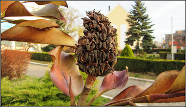 Photo: Magnolia grandiflora - Din Piata 1 Decembrie 1918, spatiu verde - 2017.03.17