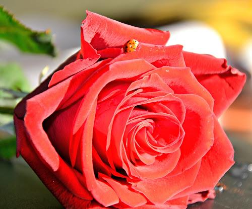 rosa rossa & coccinella di raffa1979