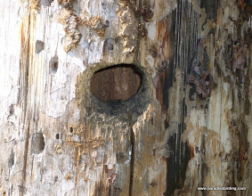 Photo: Entrance to an active Black-backed Woodpecker nest cavity