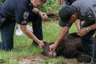 Photo: Checking the age of the bear: 18-month female.