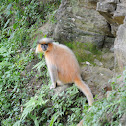 Gee's Golden Langur or Golden Langur