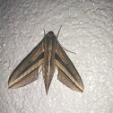 Theretra Hawk Moth