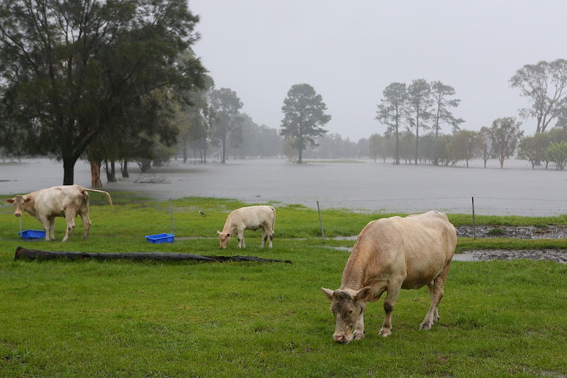 Photo: GOLD COAST, AUSTRALIA - JANUARY 28:  Cows graze in Carrara while farms flood as Queensland experiences severe rains and flooding from Tropical Cyclone Oswald on January 28, 2013 in Gold Coast, Australia. Hundreds have been evacuated from the towns of Gladstone and Bunderberg while the rest of Queensland braces for more flooding.  (Photo by Chris Hyde/Getty Images)