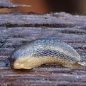 Keelback Tree Slug
